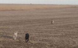 家から姿を消したワンコ、その後「ヤギ」と仲間のワンコを連れて再び戻る