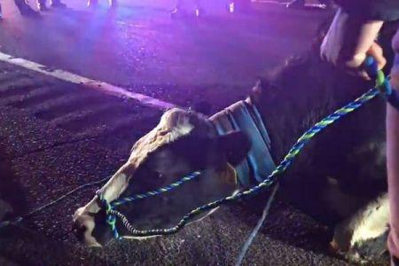 屠殺場へ向かう途中、妊娠していた雌牛がトラックから逃走、果たして運命は?