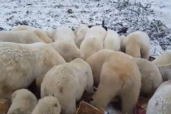 露の島にシロクマが出没し非常事態宣言、エサに群がる過去の動画も
