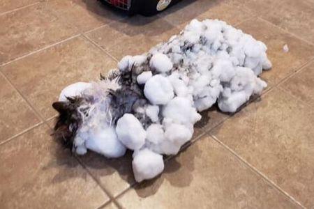 全身が雪に覆われ凍りついたネコ、極度に体温が低下するも奇跡的に回復