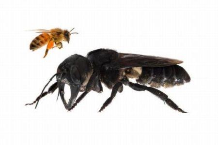 世界最大、しかも絶滅したと思われたハチが、インドネシアの島で発見される