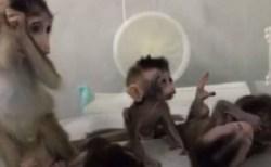 """中国でクローン技術による猿が誕生、""""非常に残酷""""だとして批判も浴びる"""