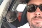 戻ってみたら野生コアラが車内にいた!思わぬハプニングに男性もびっくり