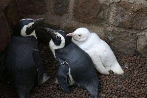 レアな真っ白なペンギンの子供、ポーランドの動物園でデビュー!