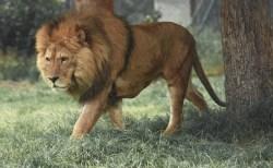チェコ人男性、自宅の庭で飼っていたペットのライオンに襲われ亡くなる