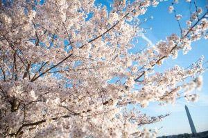 米ワシントンD.C.でも桜が満開、ネットに投稿された写真を集めてみた!