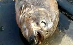 英の湖で2匹のピラニアの死骸を発見、カモや他の魚も姿を消す