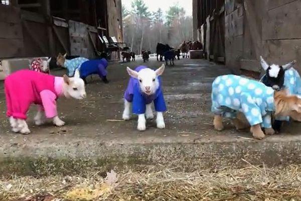 キュン死確定!子ヤギたちのパジャマ・パーティを映した動画が可愛すぎる