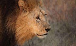 南アで密猟者がゾウに襲われて死亡、遺体もライオンに食べられ頭部しか残らず