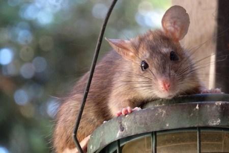 """小さな動物でも相手の痛みを感じる?ネズミにも""""共感""""する能力が示される"""