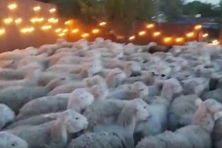 裏庭に姿を現したのは羊の大群!門を開け放した男性の自宅が大変なことに【動画】