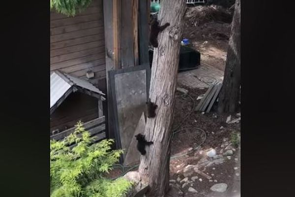 「怖いから降りよう…」木に登っている3匹の子熊の動画がかわいすぎる!
