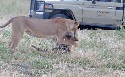 ライオンに襲われた犬が死んだふりで逃げ出すことに成功、意外な展開に観光客もびっくり