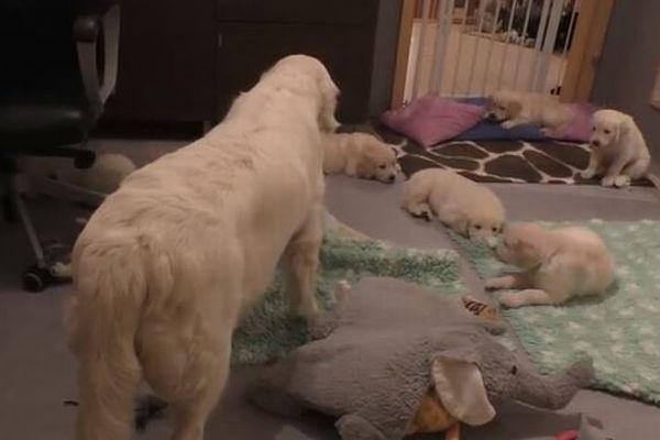 はしゃぐ子犬たちを一喝、見事に大人しくさせる経験豊かな母親ワンコがすごい