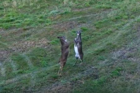 後ろ足で立ち、前足でパンチを繰り出すシカたちの喧嘩がコミカル【動画】