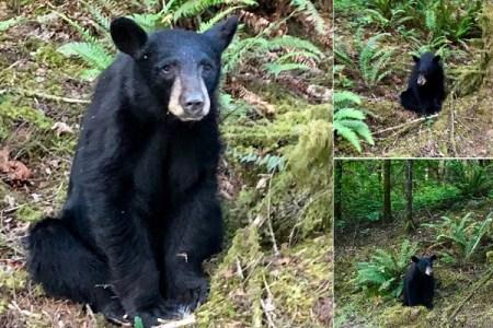 人に慣れすぎているため安楽死に…ヒトの善意の犠牲者となった1頭の熊