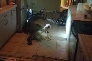 フロリダ恐ろしすぎ!真夜中に3m超のワニが窓を破りキッチンに侵入