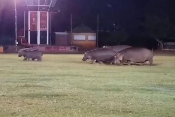 グランドに突然、カバ!南アフリカのラグビー場に集団で出現【動画】