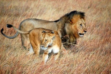 南アの国立公園内から14頭ものライオンが脱走、住民に警戒が呼び掛けられる