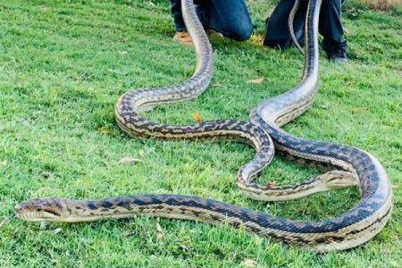 豪の民家に大きな2匹のニシキヘビ、合わせて40kgの巨体で天井を壊す