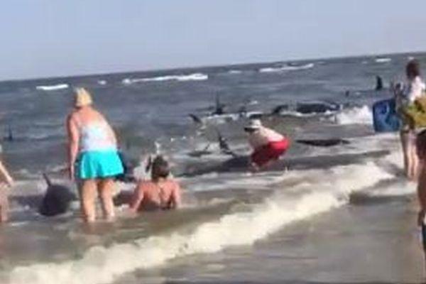 浜に打ち上げられた大量のクジラ、その多くを海水浴客が救う【動画】