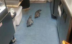 NZの寿司店にかわいい侵入者、2匹のペンギンが入り込み逮捕される
