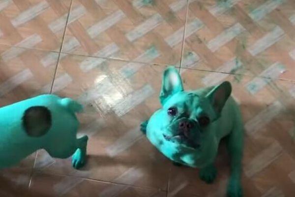 一体何が?!目覚めたらフレンチブルドッグの子犬がなぜか全身緑色に…