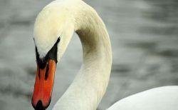 ショッキング!アイルランドの池で犬が白鳥により殺される