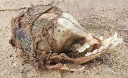 眼窩のない不思議な生物の頭蓋骨が、英のビーチに打ち上げられる
