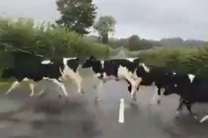 なぜ?牛たちが道路の白線を避けて、次々にジャンプして通り過ぎていく