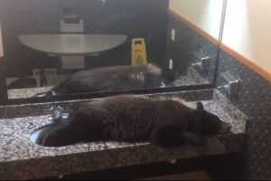 ホテルのトイレにクマ!洗面台でスヤスヤ眠る姿に従業員もびっくり