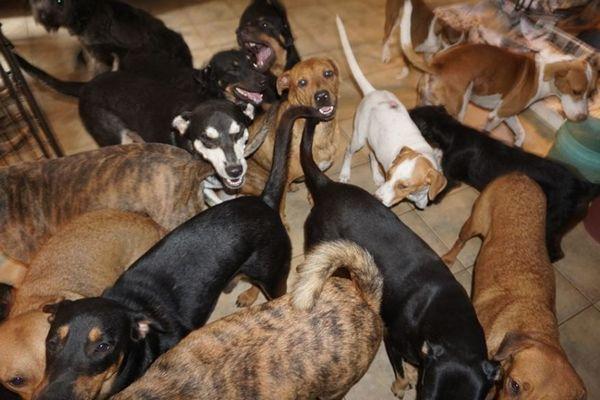 ハリケーン「ドリアン」の被害にあった島で、女性が97匹の犬を自宅で保護