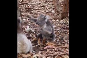 大人しいコアラが大喧嘩、激しくバトルする様子が意外すぎる【動画】