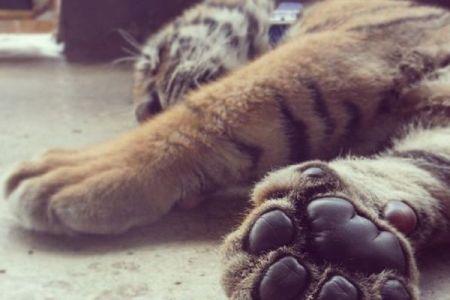 タイの寺院から保護されたトラ、近親交配のため免疫がなく86頭が死亡か