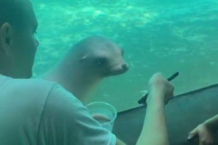 アシカもスマホに興味津々、水槽の窓越しに画面を見つめる様子がかわいい