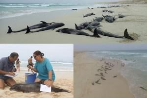 200頭というイルカの大集団が浜に漂着、現在136頭が死亡