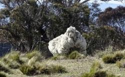 """世界で最も""""モフモフ""""の羊、死亡していたことが明らかに"""