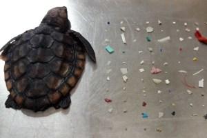 手のひらサイズのウミガメの腸から、104個ものプラスチック片が見つかる