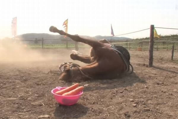 人間が乗るとすぐに死んだふり…乗馬拒否する馬がユニーク