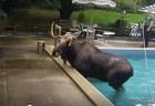 庭のプールから出られなくなっていたのは発情したヘラジカだった
