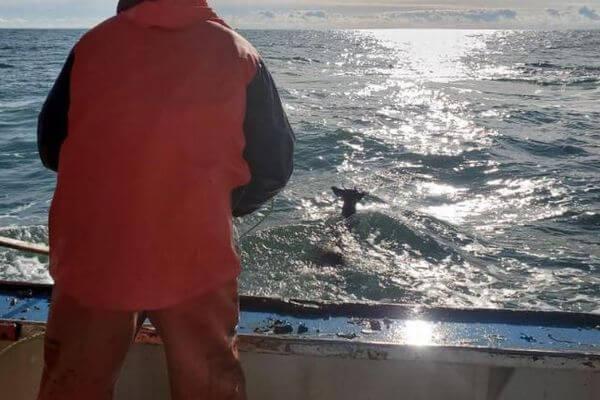 なぜ?海岸から8kmの沖合で泳いでいるシカを発見、その後救助し陸地へ戻す