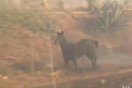 カリフォルニアの山火事で避難した馬が、再び仲間を迎えにいく姿が目撃される