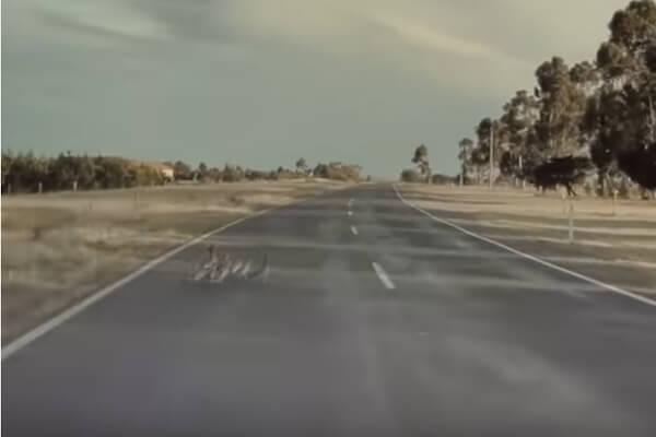 自動運転のテスラ車が、道路横断中のアヒル家族を一瞬で避ける【動画】