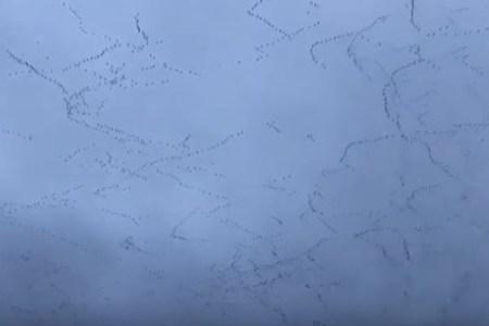 空を覆いつくす雁の群れ、壮大な模様を描きながら飛行する姿が撮影される