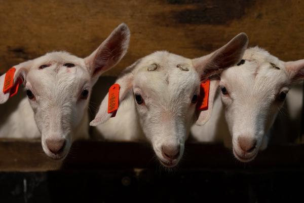 オーストラリアの牧場で子ヤギの角を焼き潰す盗撮動画、動物保護団体が公開