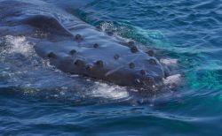 南大西洋のザトウクジラの個体数が劇的に増加、最少期に比べ93%増