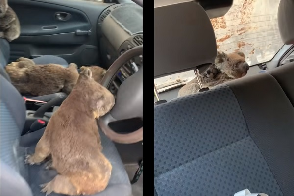 島から出せないコアラを救え!貴重な個体を救うために車を走らせた10代の青年たち