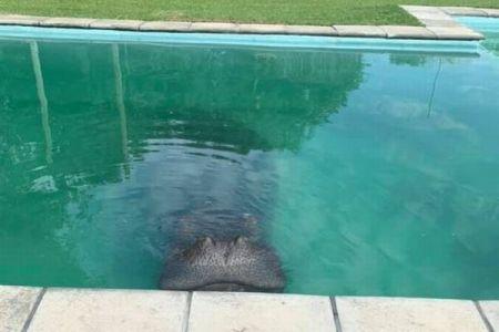 アフリカの民家にカバが出現!プールでくつろぐ姿に住民もびっくり