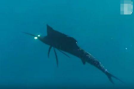 カジキが角を使って小魚を捕食、珍しい瞬間が海中で撮影される