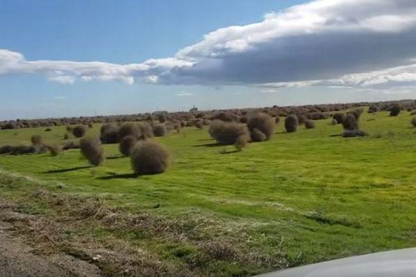 大平原の彼方から植物が襲来?無数の回転草が転がっていく動画が大迫力